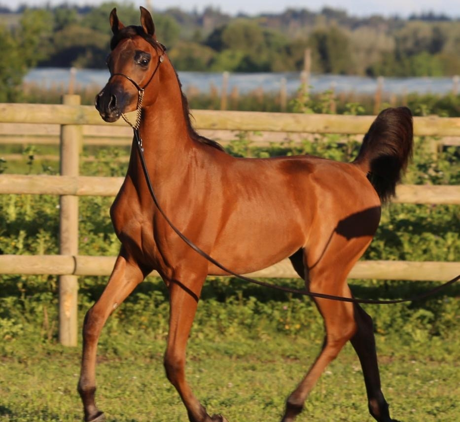 NM ANAKIN CHAMPION DE FRANCE YEARLING